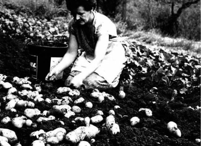 lavori dell'estate: la raccolta delle patate.