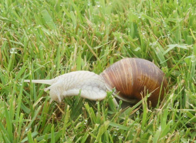 Gli animali della pioggia: le lumache di terra.
