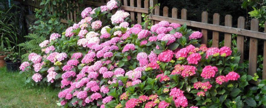 I fiori dell'estate: l'Ortensia.