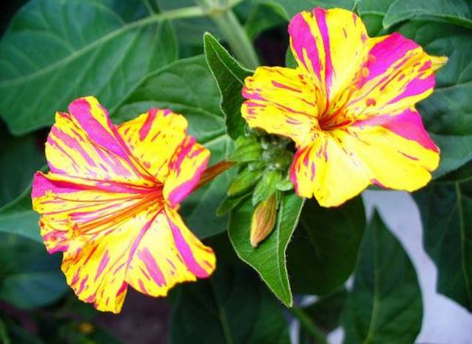 I fiori della grande estate: la Mirabilis jalapa