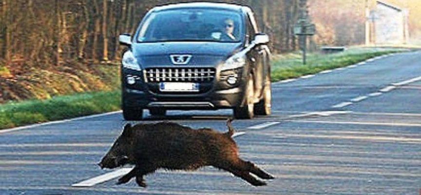 LUCCA: Autoscontro coi cinghiali ad Altopascio, Marchetti (FI): «Pericolo per tutti.