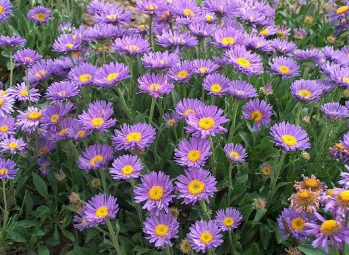 Salutiamo Settembre con i fiori che portano il suo nome: i Settembrini.