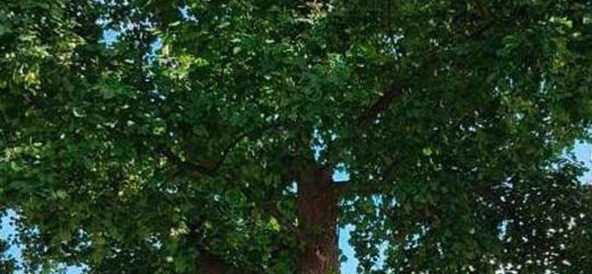 nove alberi sui viali di circonvallazione saranno abbattuti perché pericolosi
