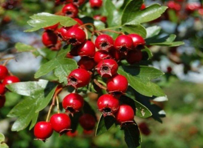 Occhietti rossi, nelle siepi d'autunno.