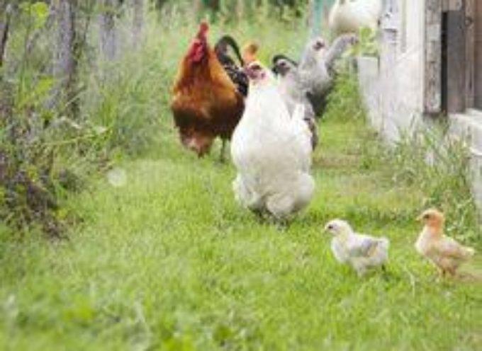 La cucina di appena ieri : le rigaglie di pollo.