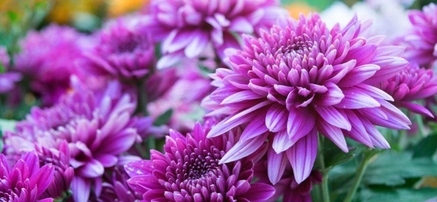 Il crisantemo è un bellissimo fiore tipicamente autunnale