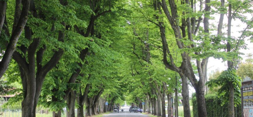 Sicurezza: prevenzione e salvaguardia patrimonio arboreo viale Apua, comune rimuove 44 ceppaie e pianta 44 nuovi tigli