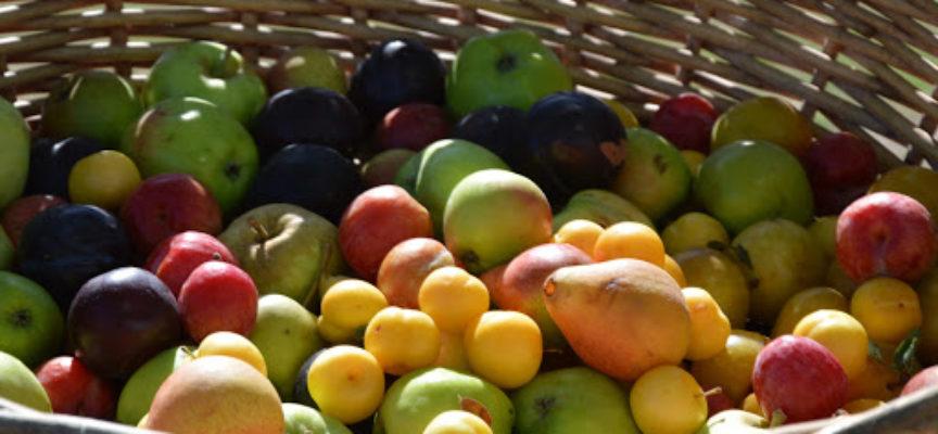 Ottima la stagione della frutta nella Piana di Lucca