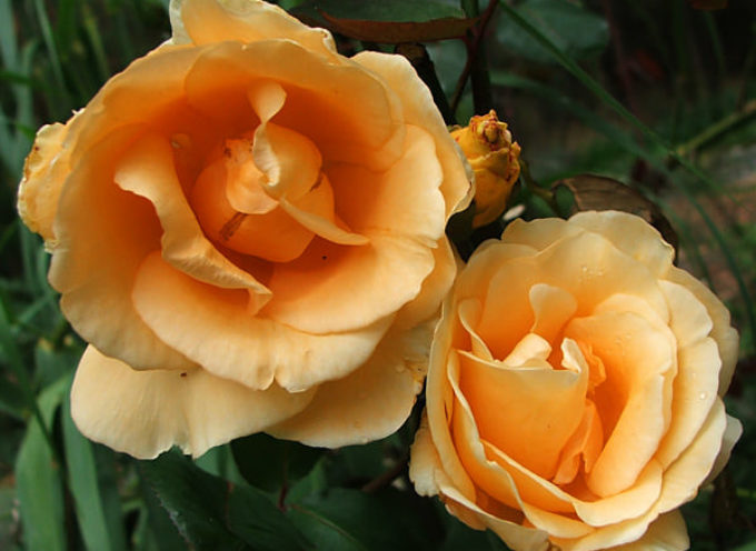 Per molte rose l'autunno è una stagione ancora più intensa della primavera