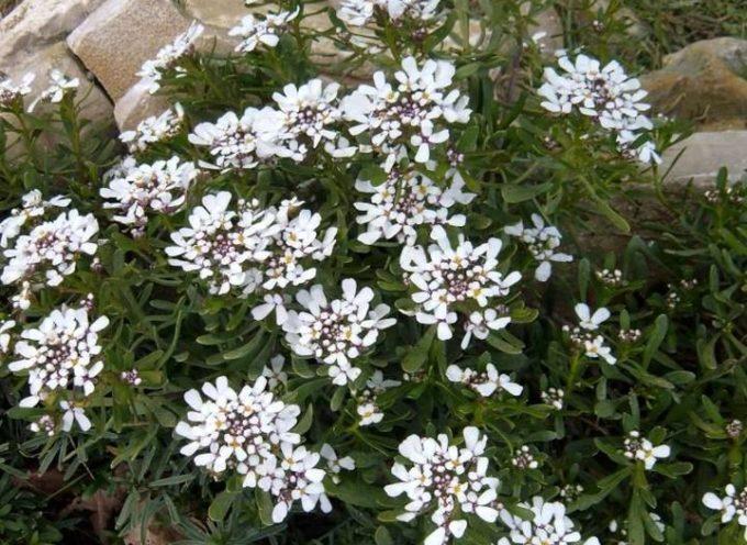 I fiori del freddo.