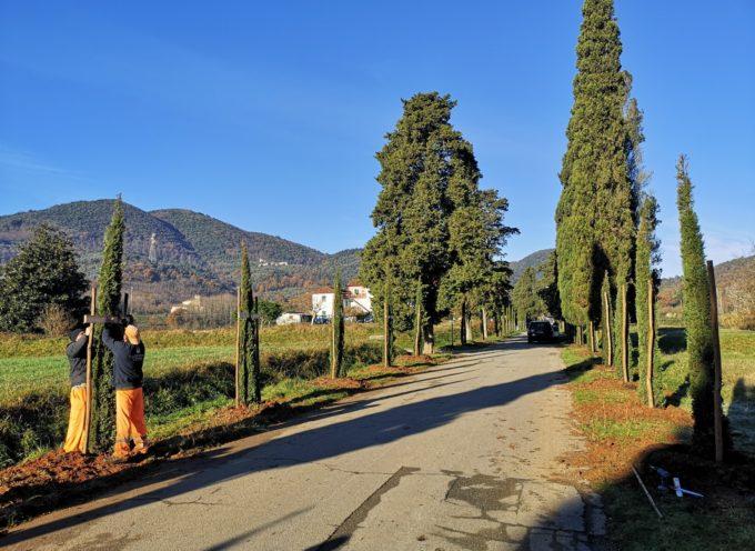 87 nuovi cipressi nel viale di accesso alla Certosa di Farneta