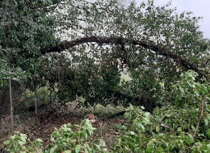 Si schianta a terra un grosso albero nella zona dei Chiariti a San Concordio