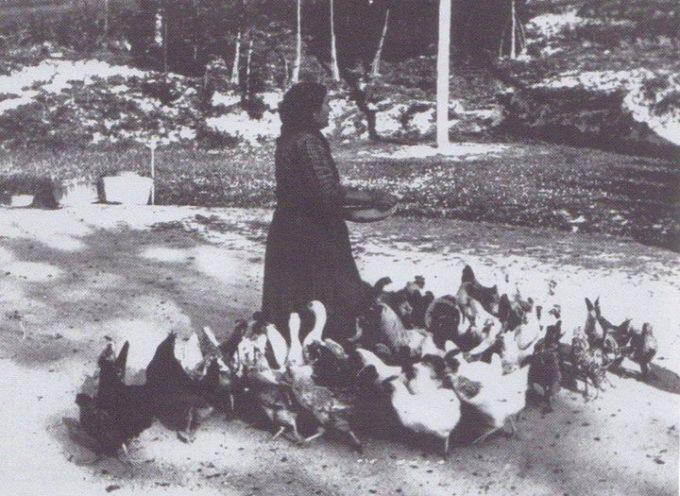 Le galline ovaiole.