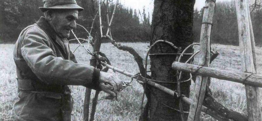 la legatura della vite con il salice…una tradizione dimenticata…