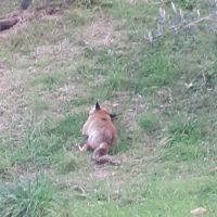 BERTIERI YAMILA – Ieri una signora di Diecimo ha notato una volpe ferita.