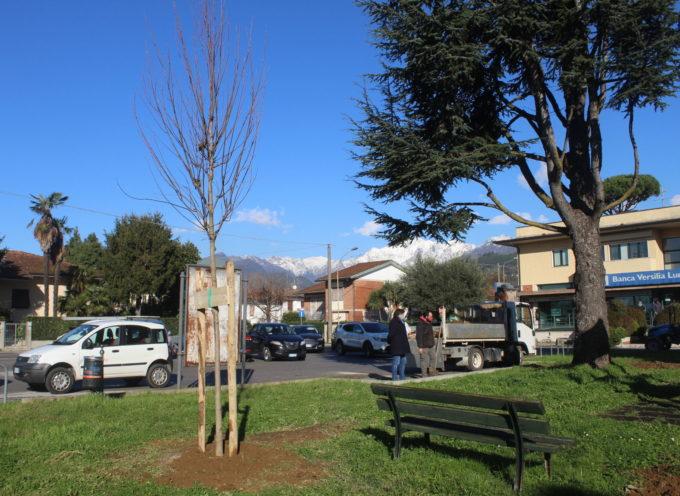 PIETRASANTA – parco di via Monginevro-via Monte Bianco alle Iare, rimosse ciocche e piantumati nuovi alberi