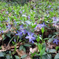 La pervinca è una pianta tappezzante molto diffusa allo stato spontaneo,