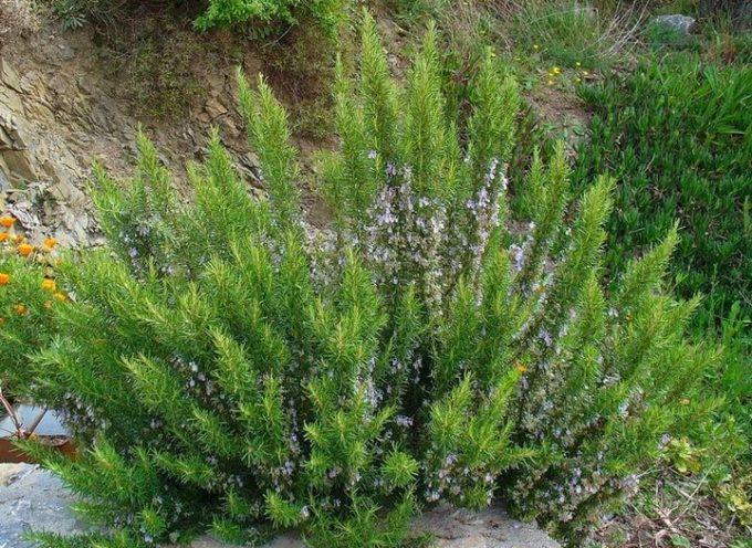 Il rosmarino: una delle piante magiche per eccellenza.