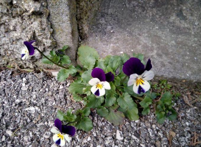 """I fiori """"Figli del vento""""."""