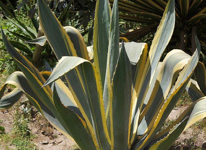 Le piante che vengono da lontano: l'Agave.
