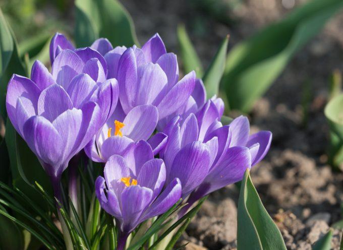 Arriva la primavera ma anche le prime insidie floreali