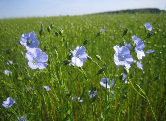 Le semine di Primavera: il lino.