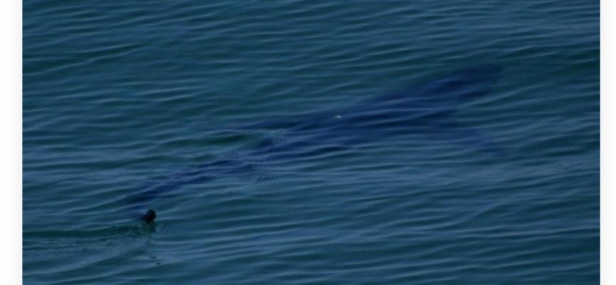 Marina di Pietrasanta – Avvistato squalo Mako al Pontile di Tonfano