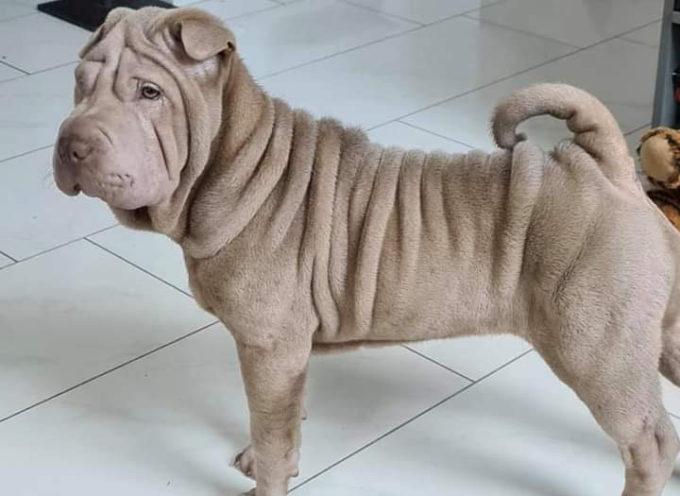 Pietrasanta – Scappa cucciola di Shar Pei, ha solo 5 mesi, aiutateci a trovarla.