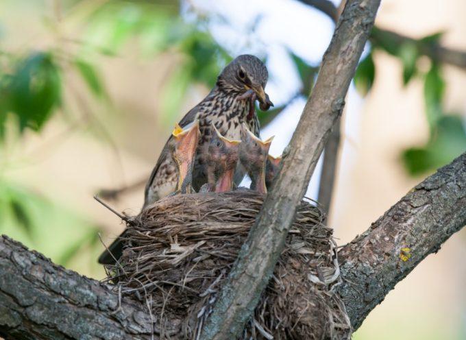Potature e sfalci degli alberi: se vedi distruggere i nidi di uccelli, è reato!