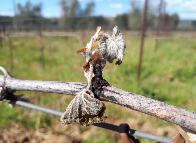 Maltempo: il gelo artico manda in tilt ortaggi, frutta e viti, germogli ghiacciati e produzioni a rischio