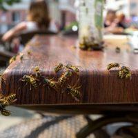 Non odiare le vespe comuni, sono insetti preziosissimi come le api e questa ricerca lo conferma