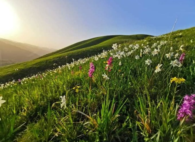 Da questo weekend inizierà la fioritura delle Giunchiglie ed orchidee sul Prato Fiorito