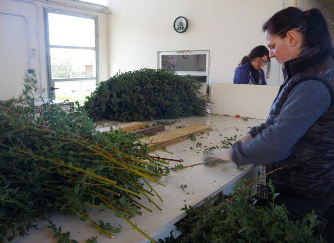Nasce la filiera dell'eucalipto bio