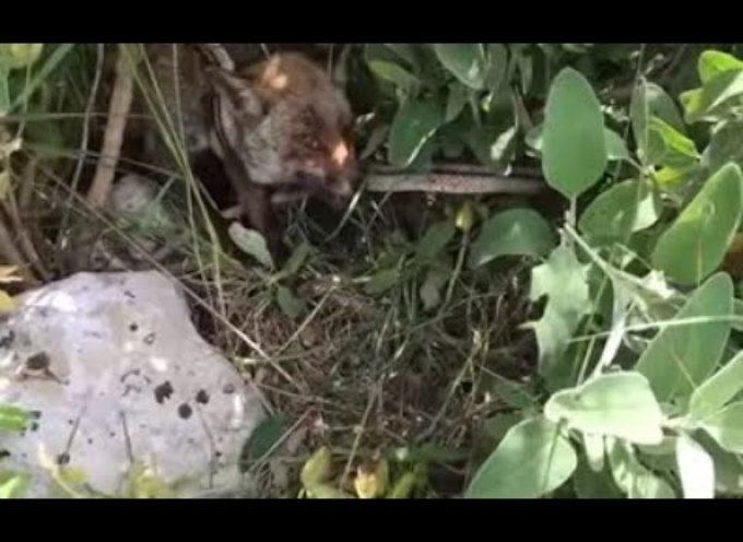 La battaglia tra una volpe e un serpente: il video è virale