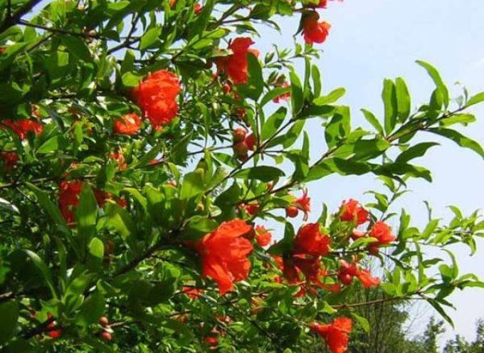 I Melograni da frutto sono in fiore.