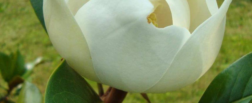 """L'albero di magnolia apre le bianche mani"""""""