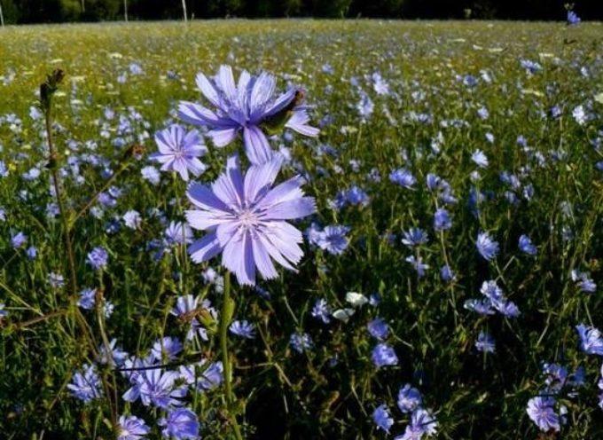 Un campo di cicoria in fiore è un vero spettacolo