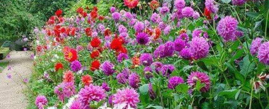 Tra i fiori della piena estate, la dalia detiene un posto d'onore.