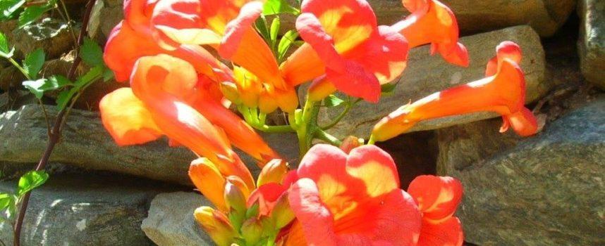 Le piante rustiche: la Bignonia.