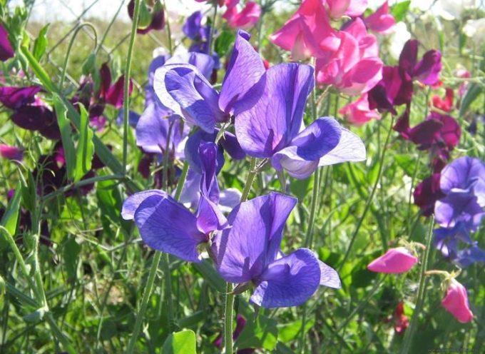 Rampicanti in fiore: il Pisello odoroso