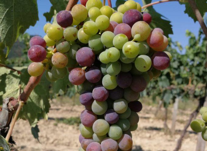 E' arrivato il momento dell'invaiatura dell'uva,