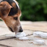 Fai bene a dare cubetti di ghiaccio al tuo cane per rinfrescarlo?