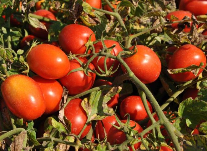 Pomodoro industria, Cia: E' crisi nera, subito indennizzi per gli agricoltori