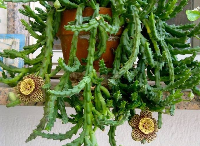 Le piante che vengono da lontano: la Stapelia.