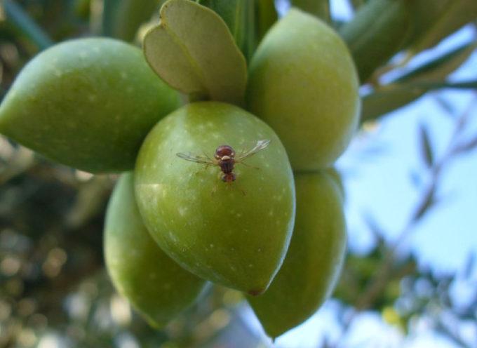 Mosca dell'olivo, in crescita gli attacchi dell'insetto
