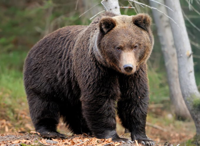 Stop agli abbattimenti automatici degli orsi in caso di aggressione! Il Tar di Trento dà ragione alle associazioni animaliste