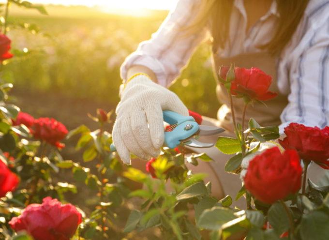 È tempo di potare le rose sfiorite! I trucchi per prendersi cura delle regine del giardino in autunno