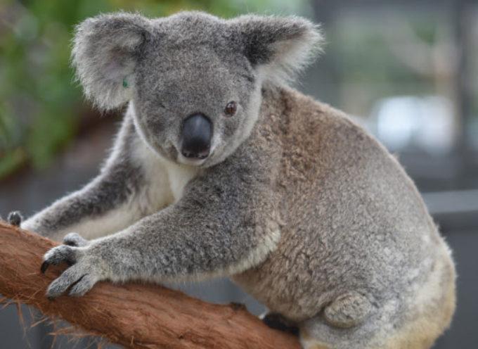 La 'strage naturale' dei Koala in Australia