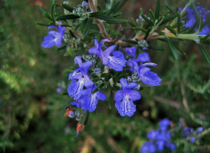Grazie al clima mite di questo inizio di autunno, possiamo ancora godere le belle fioriture azzurre di Rosmarino.