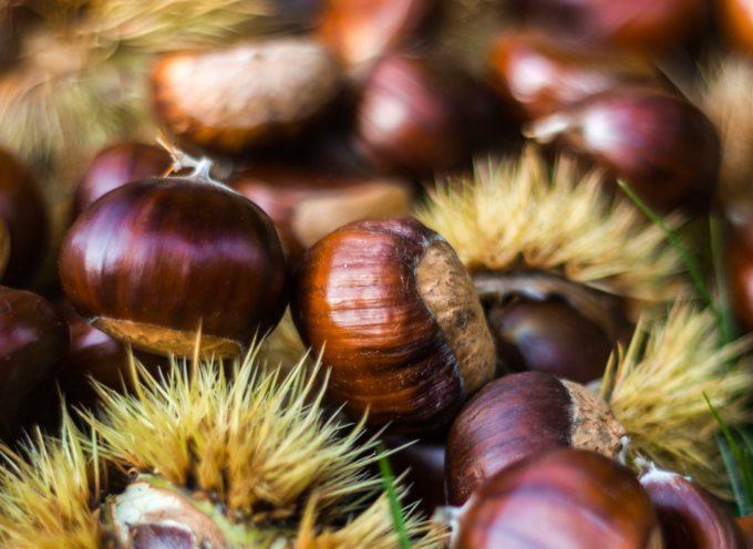 Sono 177mila gli ettari di bosco di castagni in Toscana.